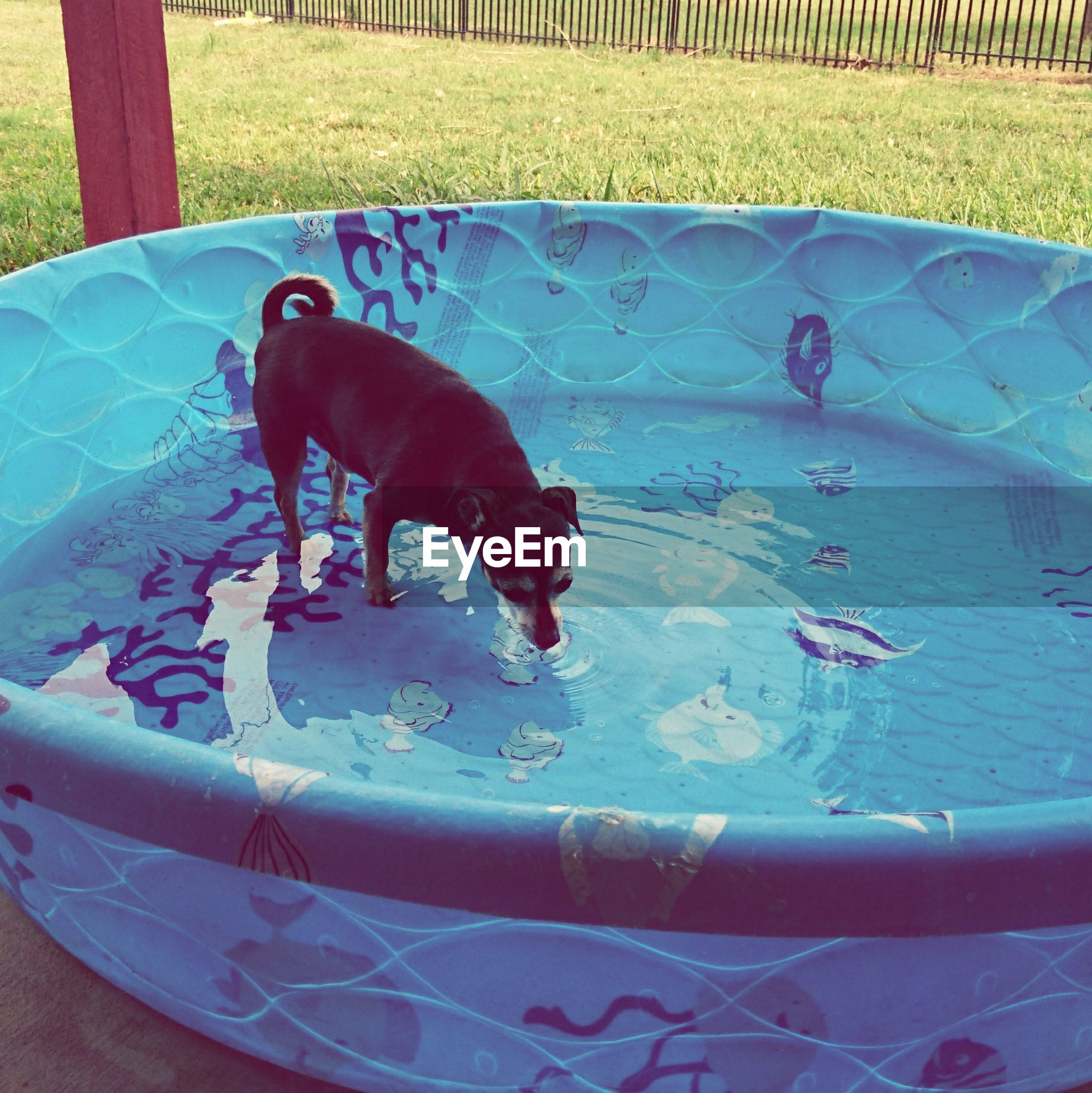 animal themes, domestic animals, dog, pets, mammal, one animal, day, water, no people, swimming pool, outdoors, nature
