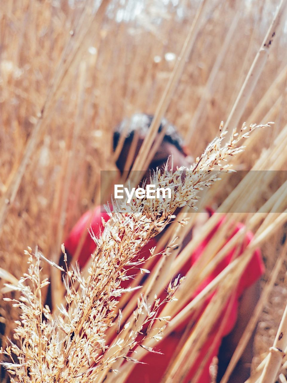 selective focus, plant, close-up, nature, day, no people, red, wood - material, sunlight, growth, outdoors, large group of objects, flower, dry, crop, agriculture, still life, focus on foreground, beauty in nature