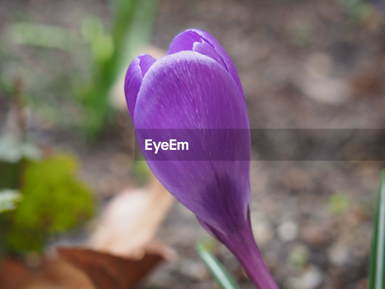 flower, petal, fragility, nature, beauty in nature, freshness, purple, flower head, growth, plant, focus on foreground, day, close-up, outdoors, no people, blooming, crocus