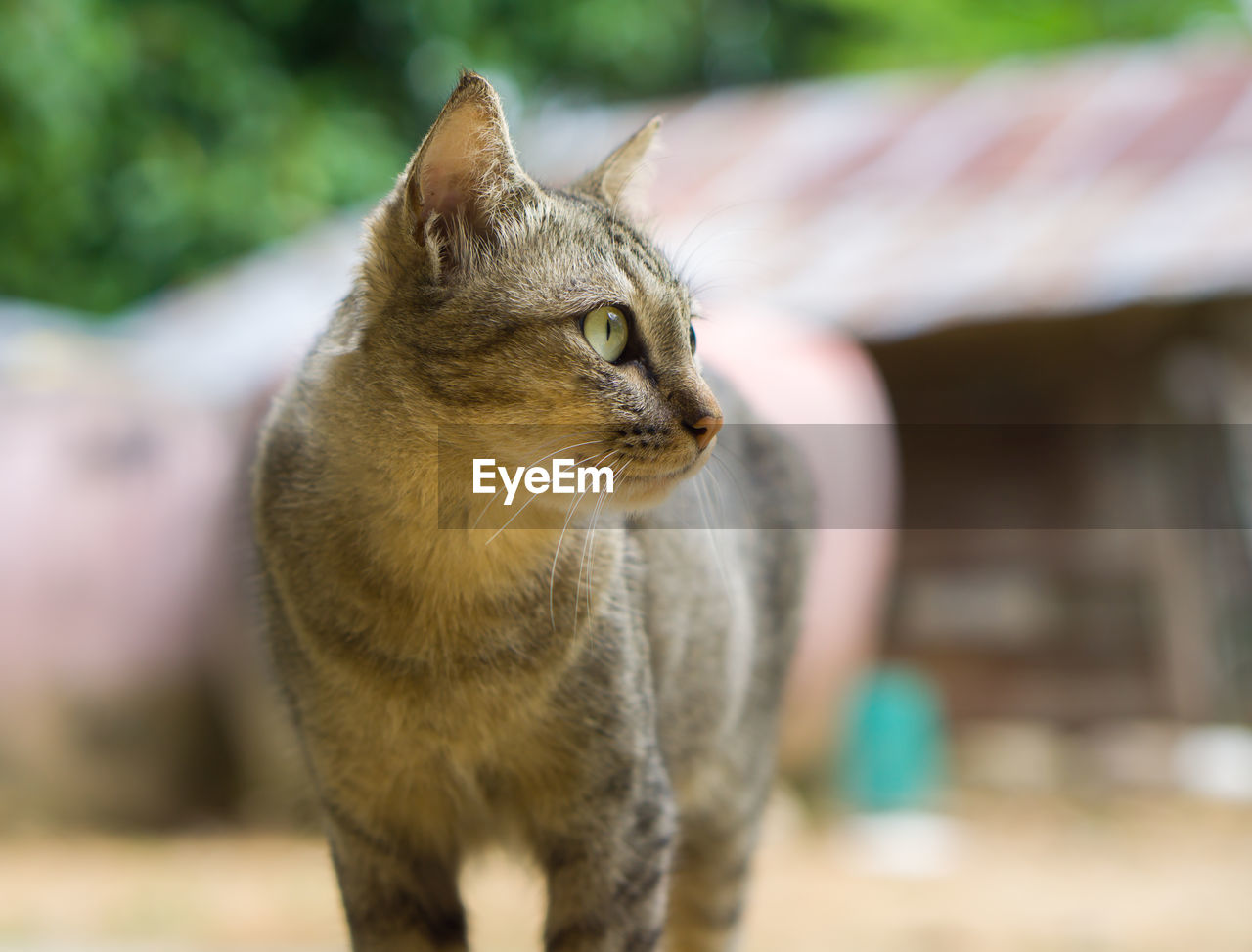 domestic cat, pets, animal themes, feline, domestic animals, one animal, mammal, focus on foreground, whisker, no people, looking at camera, day, portrait, sitting, outdoors, close-up