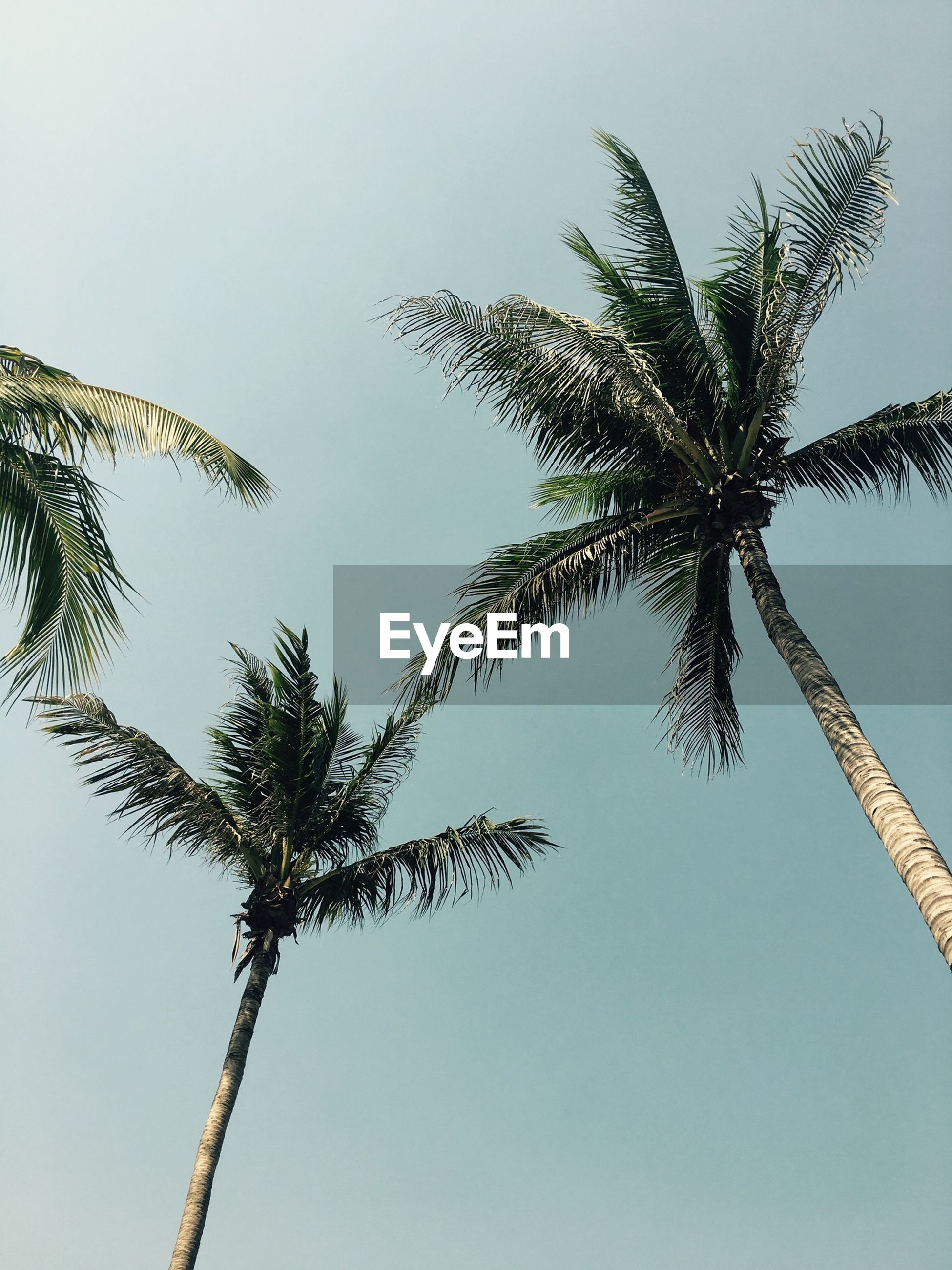 low angle view, clear sky, growth, nature, tree, tranquility, branch, copy space, beauty in nature, sky, palm tree, day, tree trunk, blue, no people, stem, outdoors, leaf, plant, growing