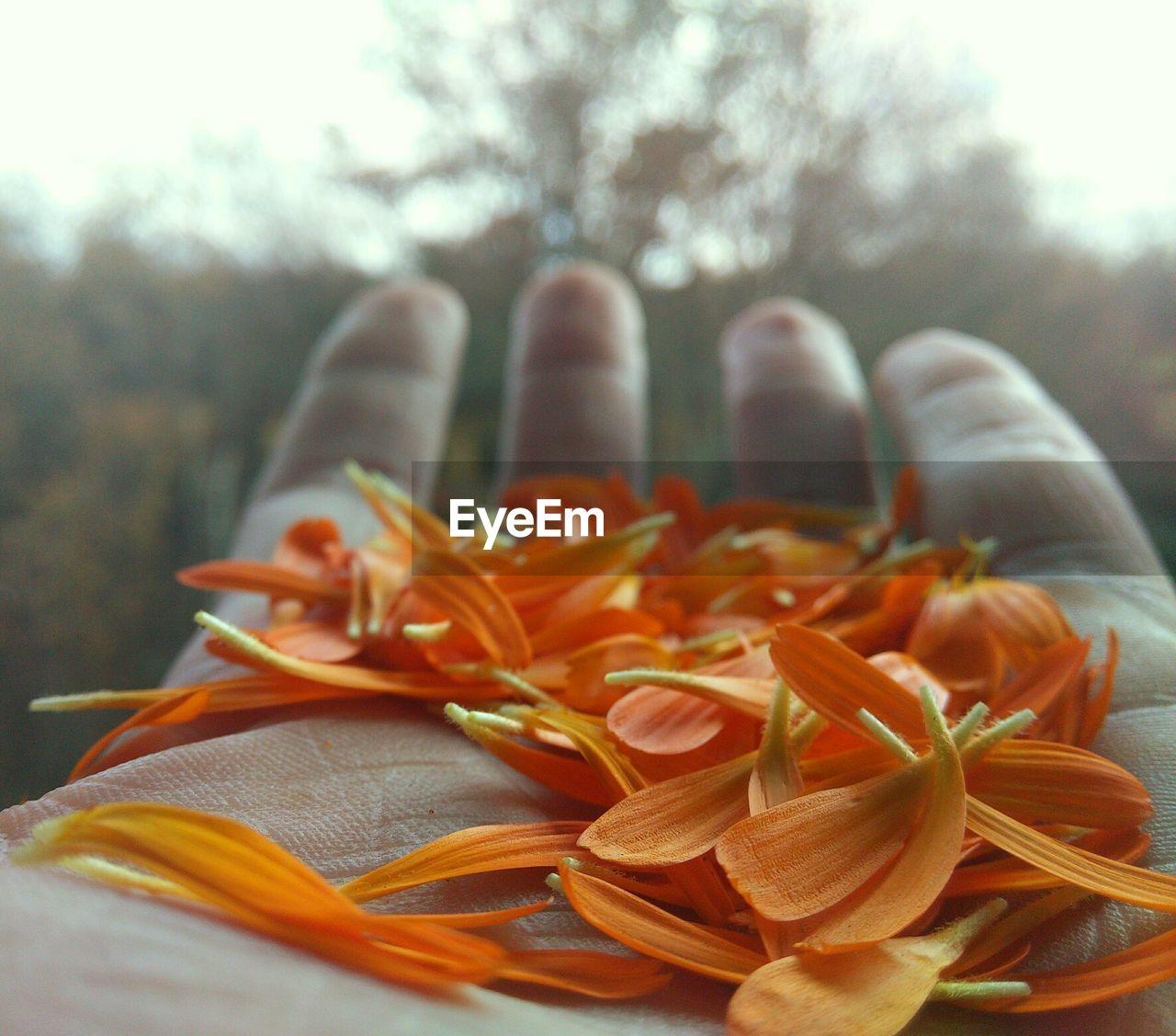 Cropped image of hand holding orange petals