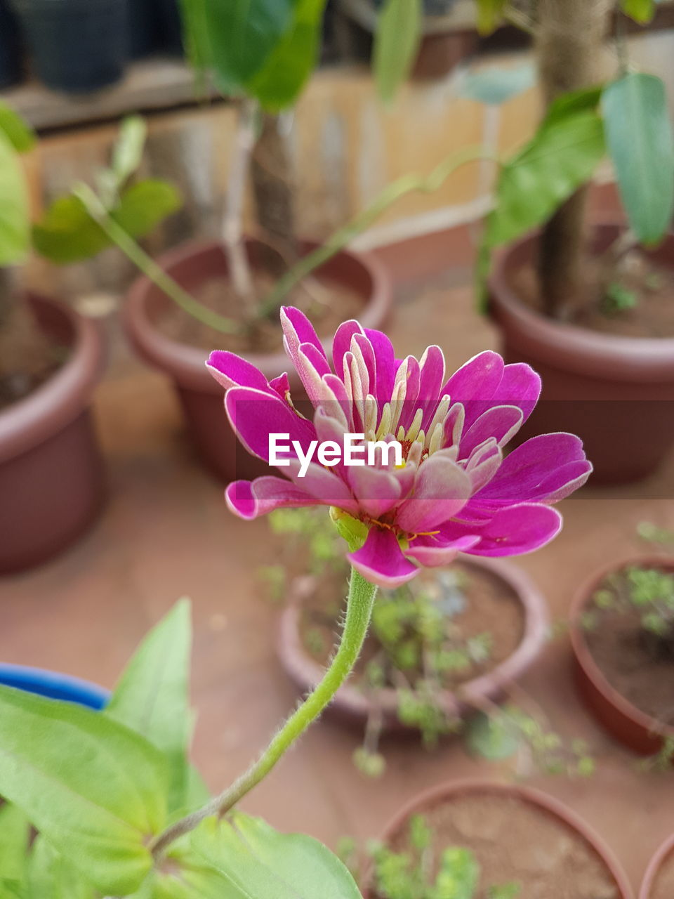 plant, growth, flower, potted plant, pink color, fragility, leaf, nature, petal, close-up, no people, freshness, beauty in nature, day, outdoors, flower head
