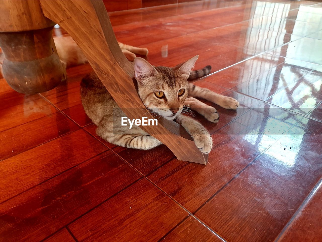 cat, domestic cat, animal themes, feline, domestic, animal, pets, one animal, domestic animals, mammal, vertebrate, flooring, high angle view, no people, indoors, relaxation, resting, wood - material, lying down, looking at camera, whisker, wood, tiled floor, tabby