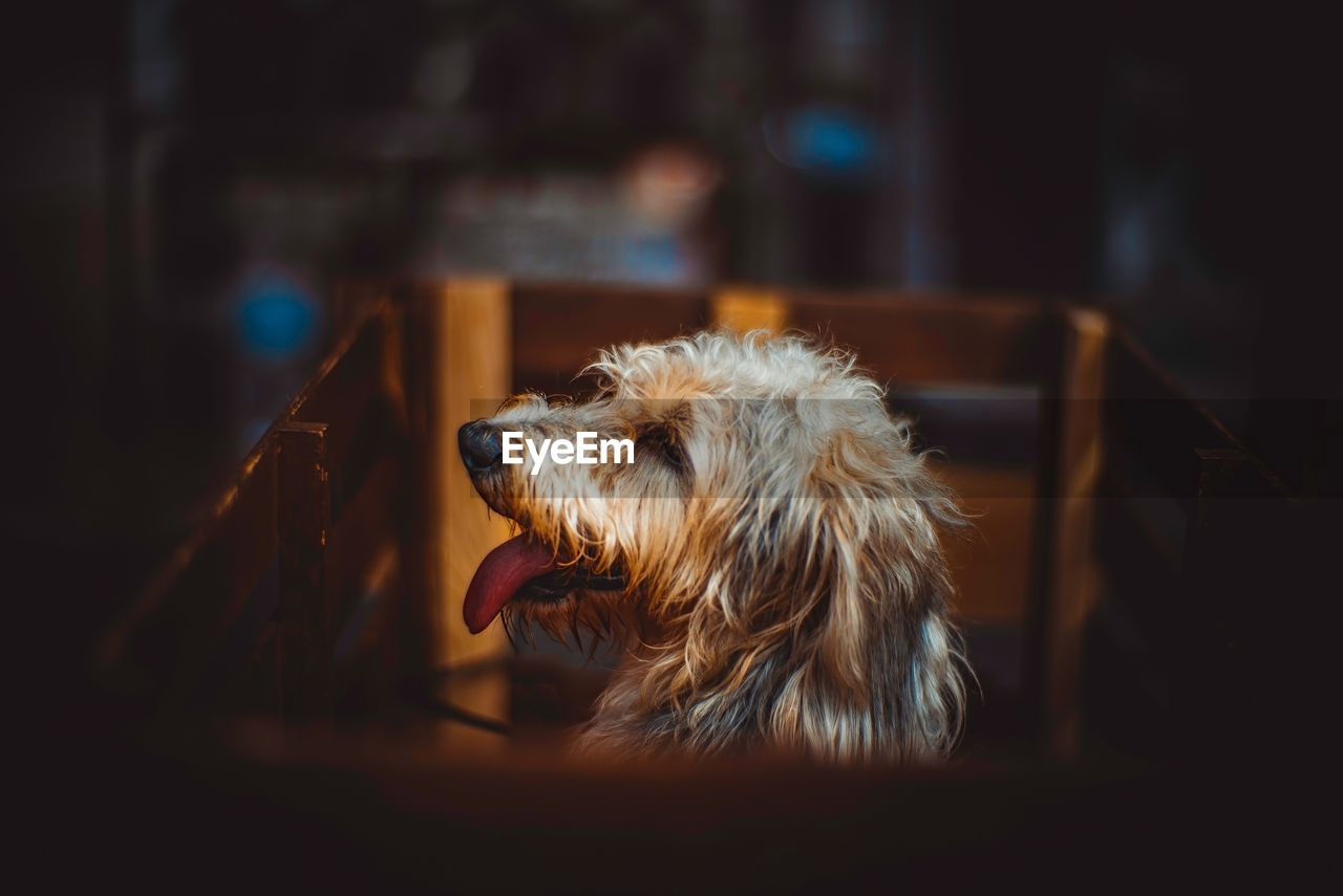 pets, domestic, one animal, mammal, domestic animals, canine, animal themes, dog, animal, vertebrate, indoors, looking, looking away, animal hair, focus on foreground, no people, home interior, animal body part, close-up, hair, small, animal head