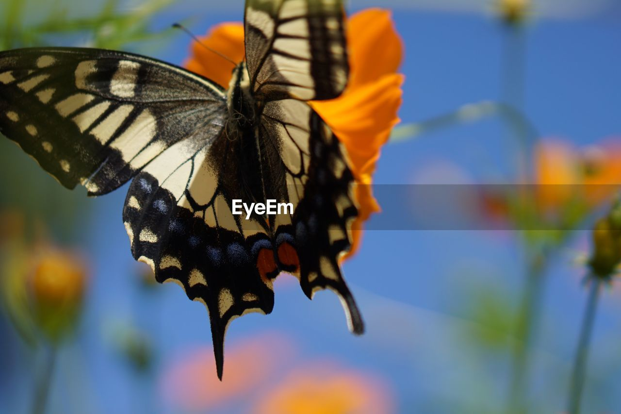 invertebrate, insect, animal wing, butterfly - insect, animal themes, animal wildlife, animals in the wild, animal, beauty in nature, one animal, flower, focus on foreground, close-up, flowering plant, fragility, vulnerability, flower head, plant, pollination, nature, no people, outdoors, butterfly, lantana