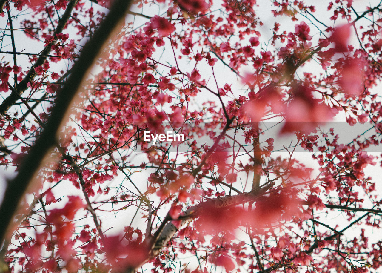 tree, branch, beauty in nature, nature, growth, flower, pink color, twig, fragility, day, low angle view, no people, outdoors, springtime, blossom, freshness, tranquility, close-up, sky, flower head