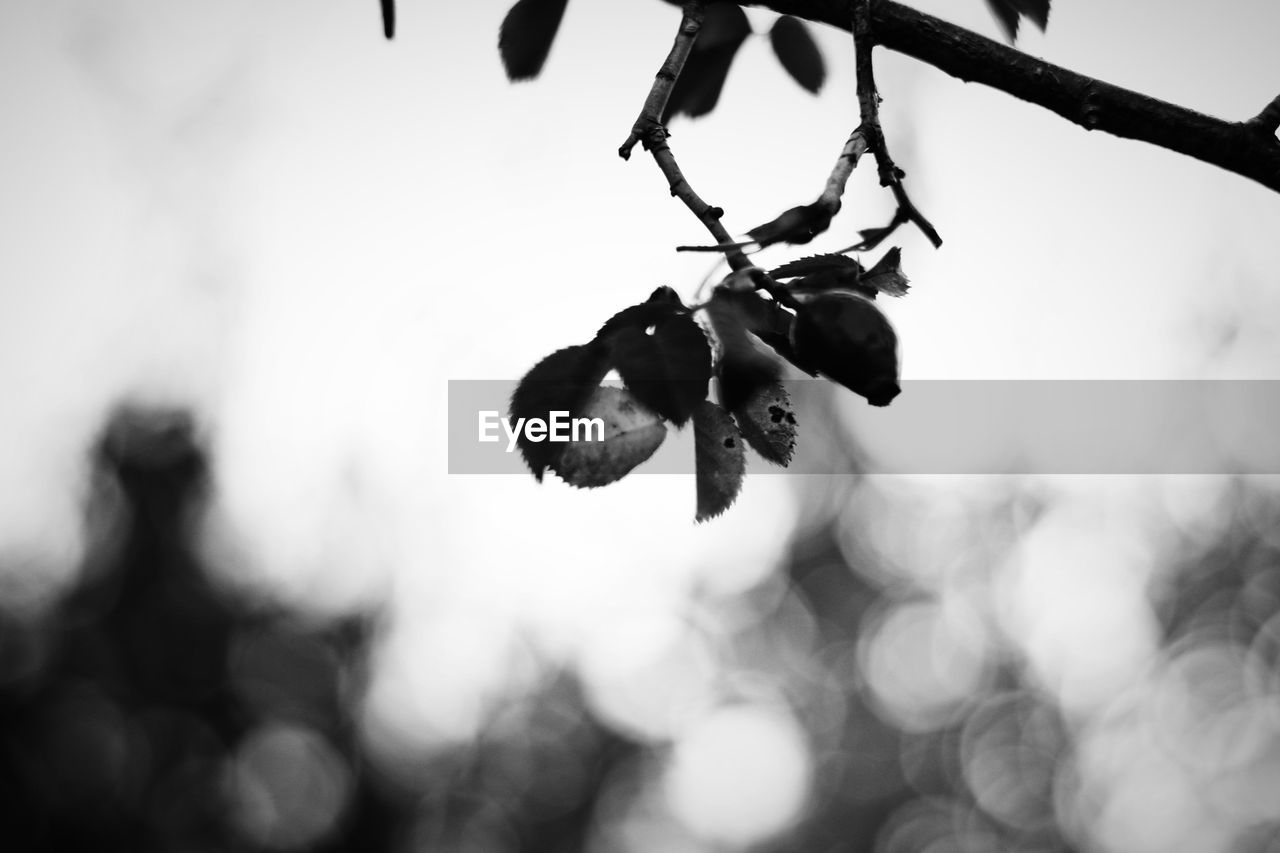 Nature Beauty In Nature Black Black And White Blackandwhite Branch Close-up Day Focus On Foreground Food Food And Drink Freshness Fruit Growth Hanging Healthy Eating Leaf Nature No People Outdoors Plant Plant Part Tranquility Tree Twig