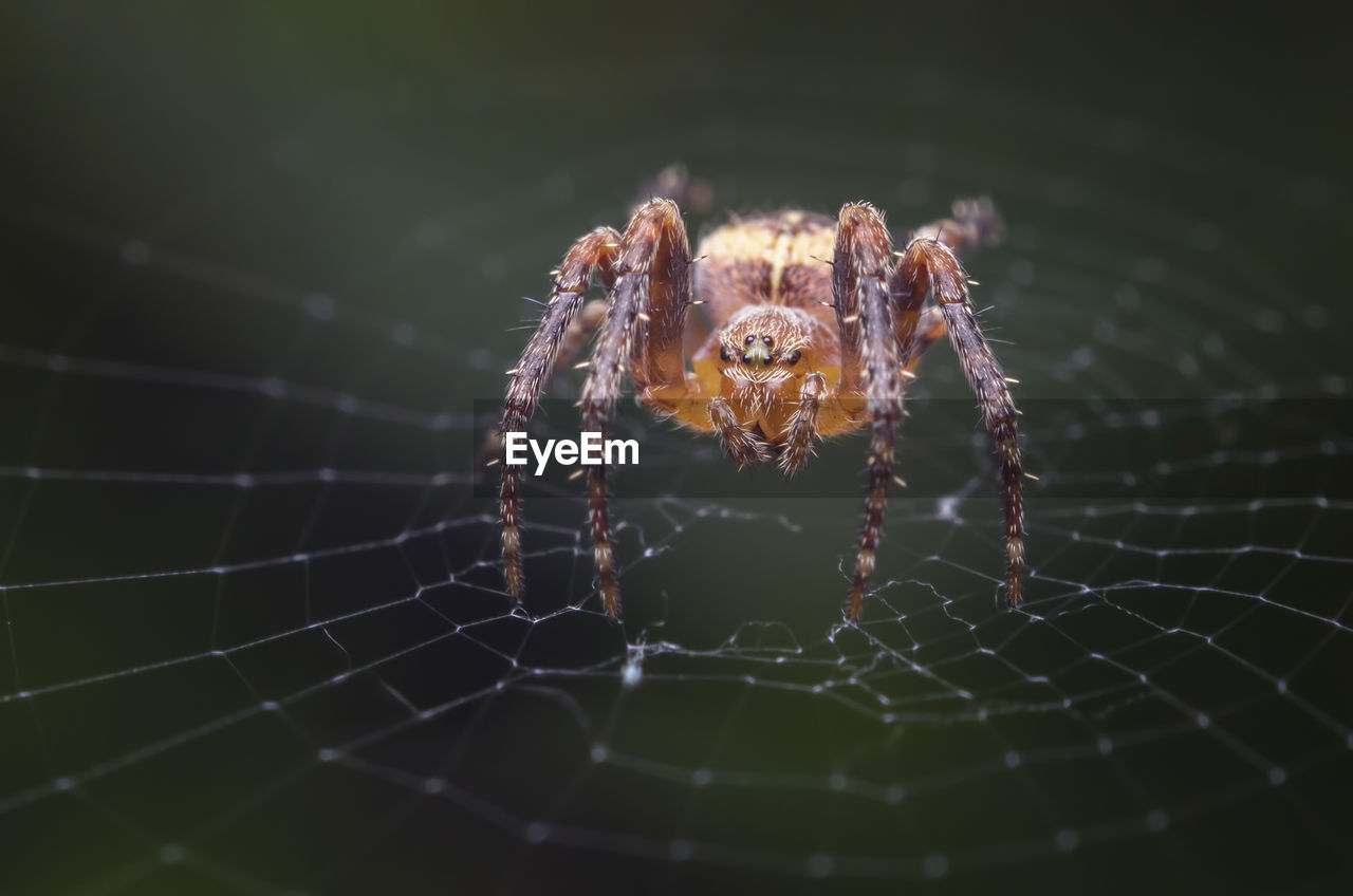 arachnid, spider, arthropod, spider web, animal themes, animal, invertebrate, one animal, animals in the wild, animal wildlife, close-up, insect, fragility, day, nature, outdoors, no people, selective focus, focus on foreground, zoology, animal leg, web
