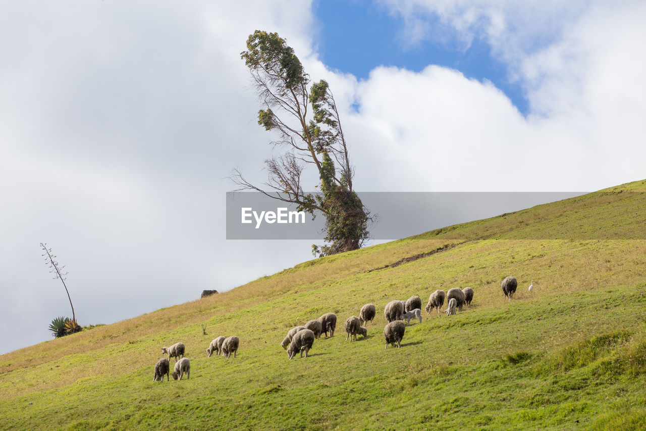 sky, plant, animal, animal themes, cloud - sky, group of animals, domestic animals, mammal, field, grass, land, environment, livestock, vertebrate, nature, pets, landscape, beauty in nature, domestic, large group of animals, no people, herbivorous, herd