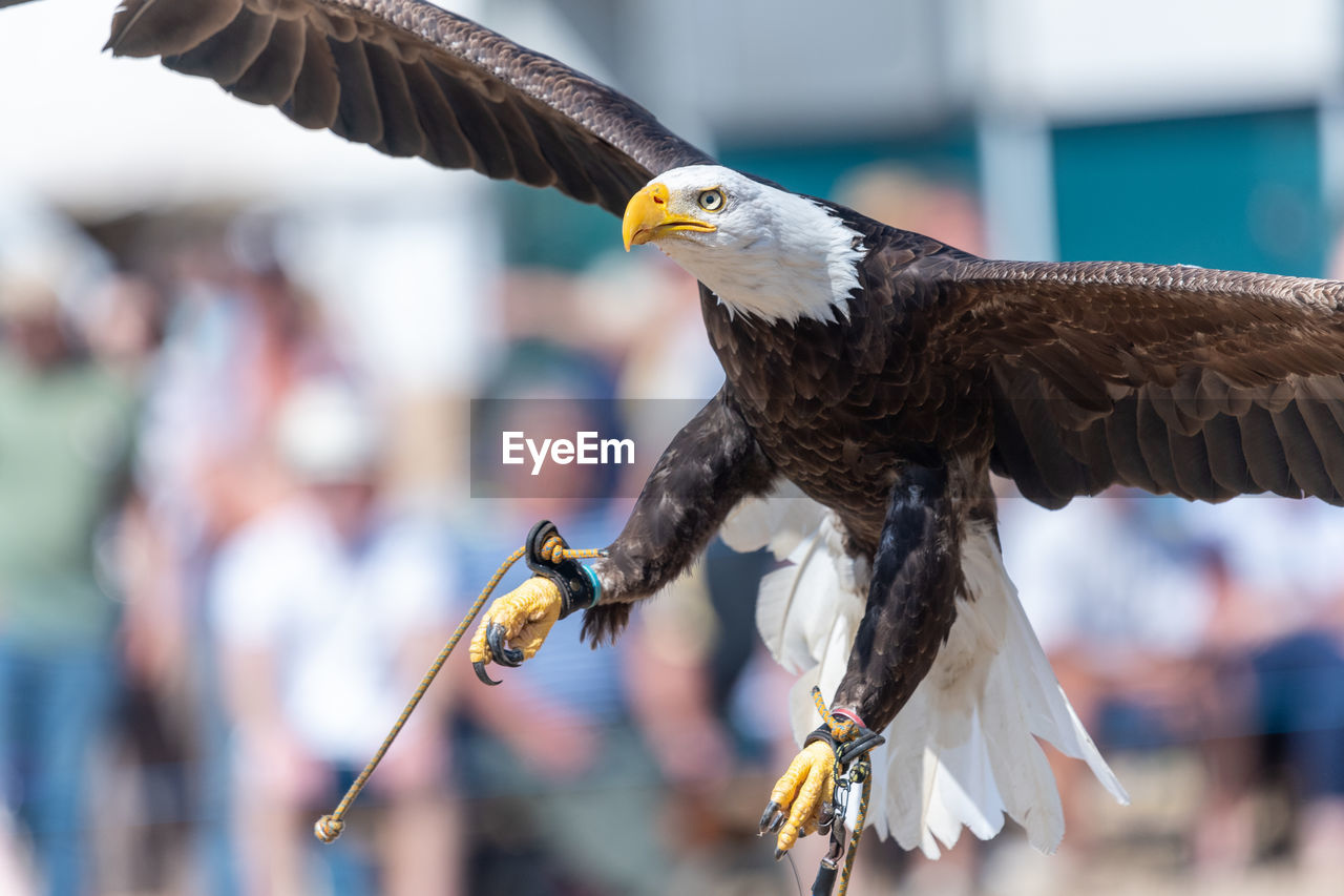 Close up of a bald eagle flying infront of a crowd of people in a falconry demonstration.