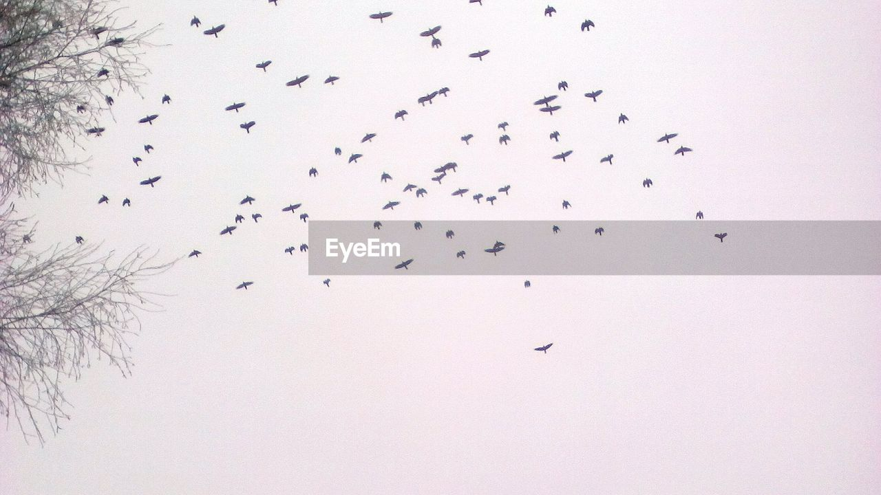 large group of animals, bird, flock of birds, animals in the wild, animal themes, flying, animal wildlife, migrating, wildlife, togetherness, nature, no people, low angle view, outdoors, beauty in nature, silhouette, mid-air, day, clear sky, sky, spread wings
