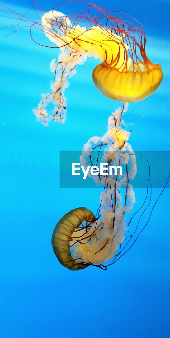 underwater, jellyfish, sea life, swimming, smooth, water, blue background, floating in water, blue, no people, studio shot, close-up, animal themes, undersea, beauty in nature