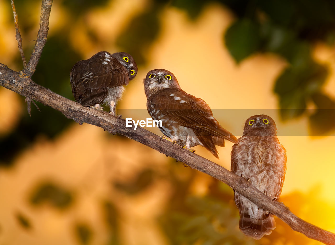 Brown Hawk Owls Perching On Branch