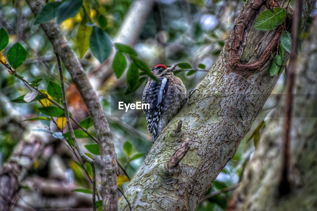 bird, one animal, animal themes, tree, animals in the wild, animal wildlife, perching, tree trunk, focus on foreground, woodpecker, branch, nature, day, no people, outdoors, beauty in nature
