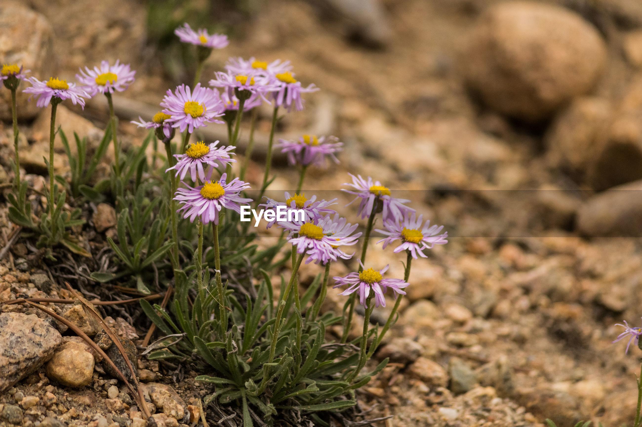 CLOSE-UP OF CROCUS FLOWERS ON FIELD