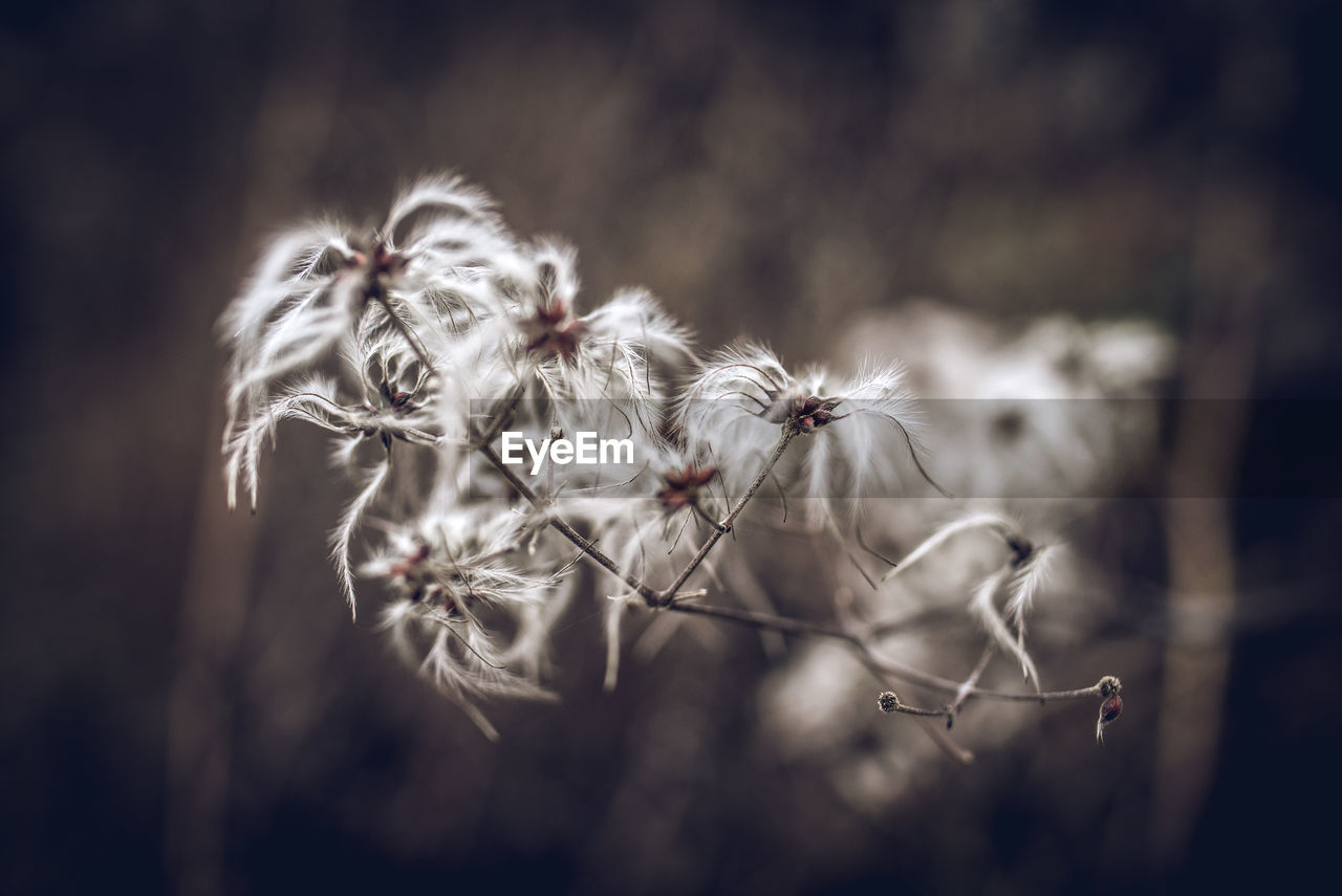 plant, fragility, focus on foreground, vulnerability, flower, close-up, beauty in nature, flowering plant, no people, nature, freshness, day, selective focus, dandelion, growth, dry, tranquility, softness, seed, outdoors, dead plant, flower head, dandelion seed, wilted plant, dried