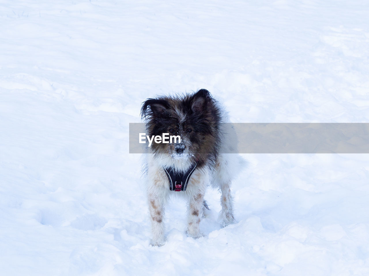 one animal, animal, animal themes, mammal, canine, dog, domestic, pets, winter, cold temperature, vertebrate, domestic animals, snow, nature, running, white color, motion, day, no people, outdoors, purebred dog