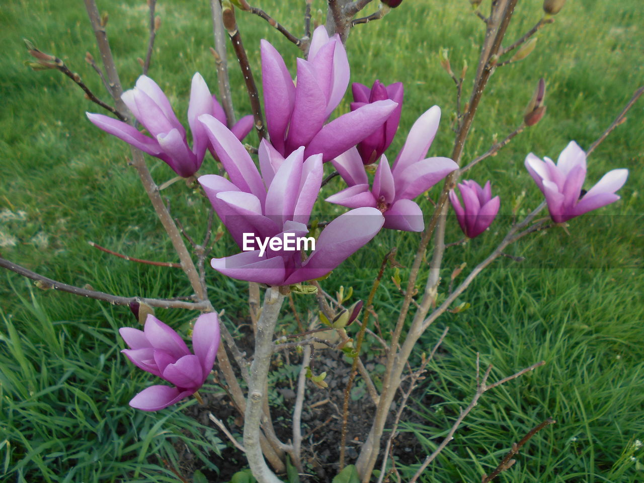 plant, flowering plant, flower, beauty in nature, growth, pink color, freshness, vulnerability, close-up, fragility, petal, nature, no people, inflorescence, field, day, land, flower head, grass, purple, outdoors, crocus, springtime, iris