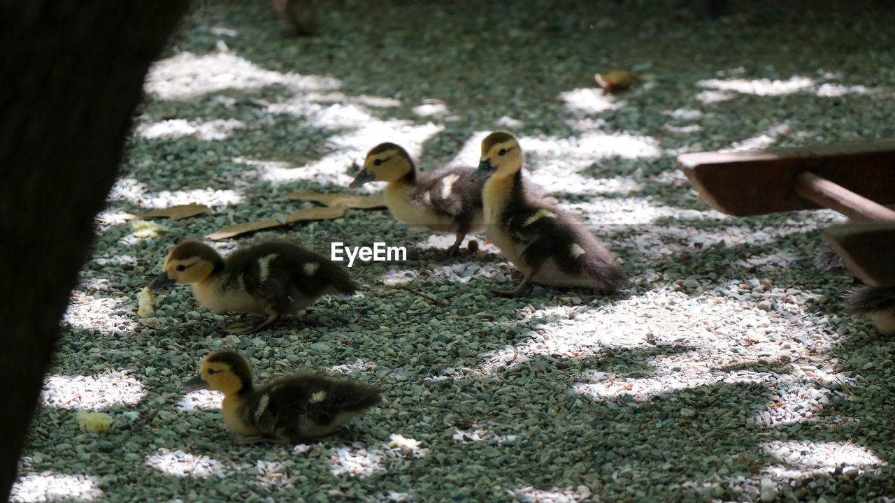 young animal, animal themes, animal, group of animals, animal wildlife, young bird, vertebrate, animals in the wild, bird, animal family, day, nature, duckling, land, medium group of animals, field, no people, gosling, duck, outdoors