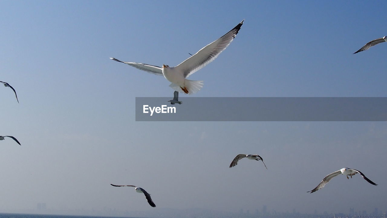 flying, animals in the wild, bird, animal wildlife, spread wings, group of animals, vertebrate, animal themes, animal, sky, mid-air, seagull, nature, low angle view, day, motion, no people, beauty in nature, clear sky, medium group of animals, flock of birds