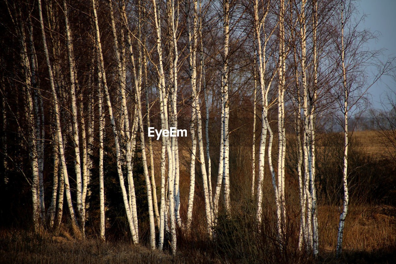Bare birch trees in forest