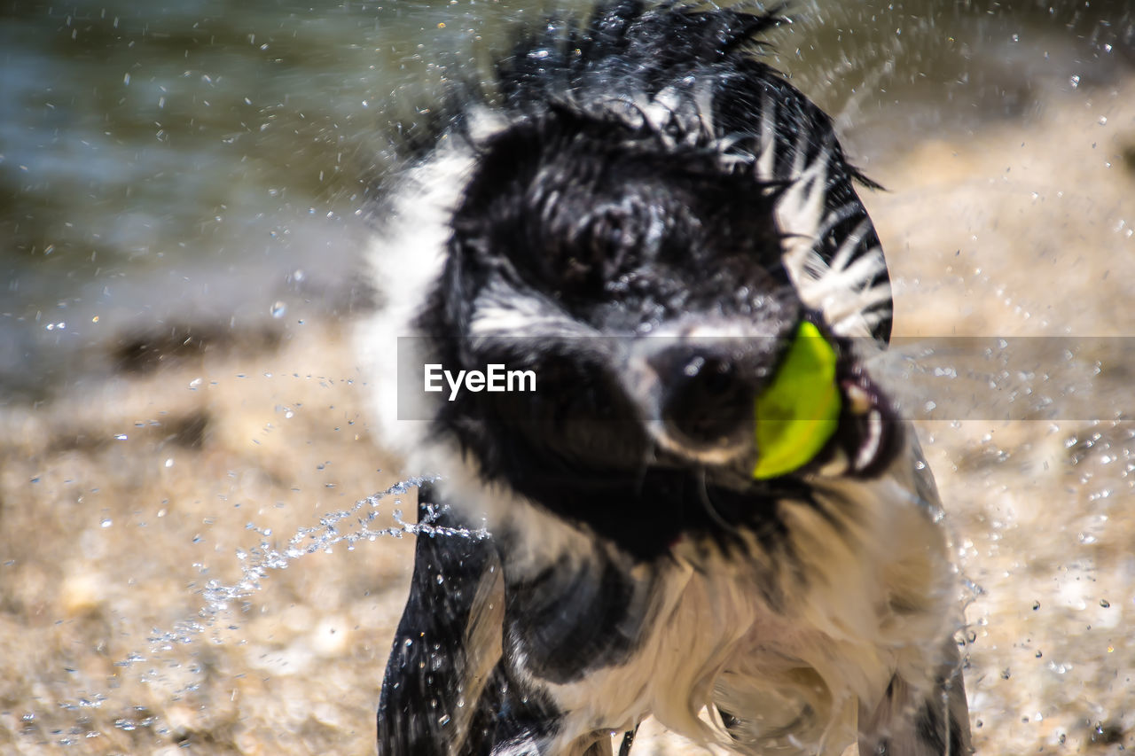 one animal, animal themes, animal, canine, dog, mammal, vertebrate, motion, pets, domestic, water, splashing, domestic animals, nature, wet, day, focus on foreground, shaking, outdoors, no people, animal head, animal mouth