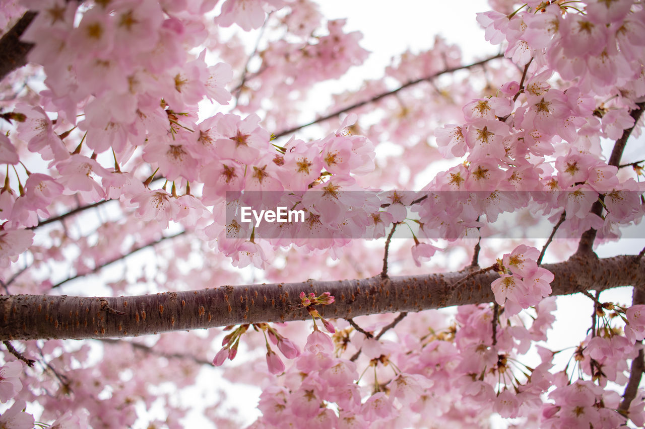 pink color, flowering plant, flower, plant, fragility, tree, vulnerability, freshness, branch, growth, blossom, beauty in nature, springtime, cherry blossom, nature, close-up, cherry tree, day, petal, no people, outdoors, flower head, plum blossom, spring