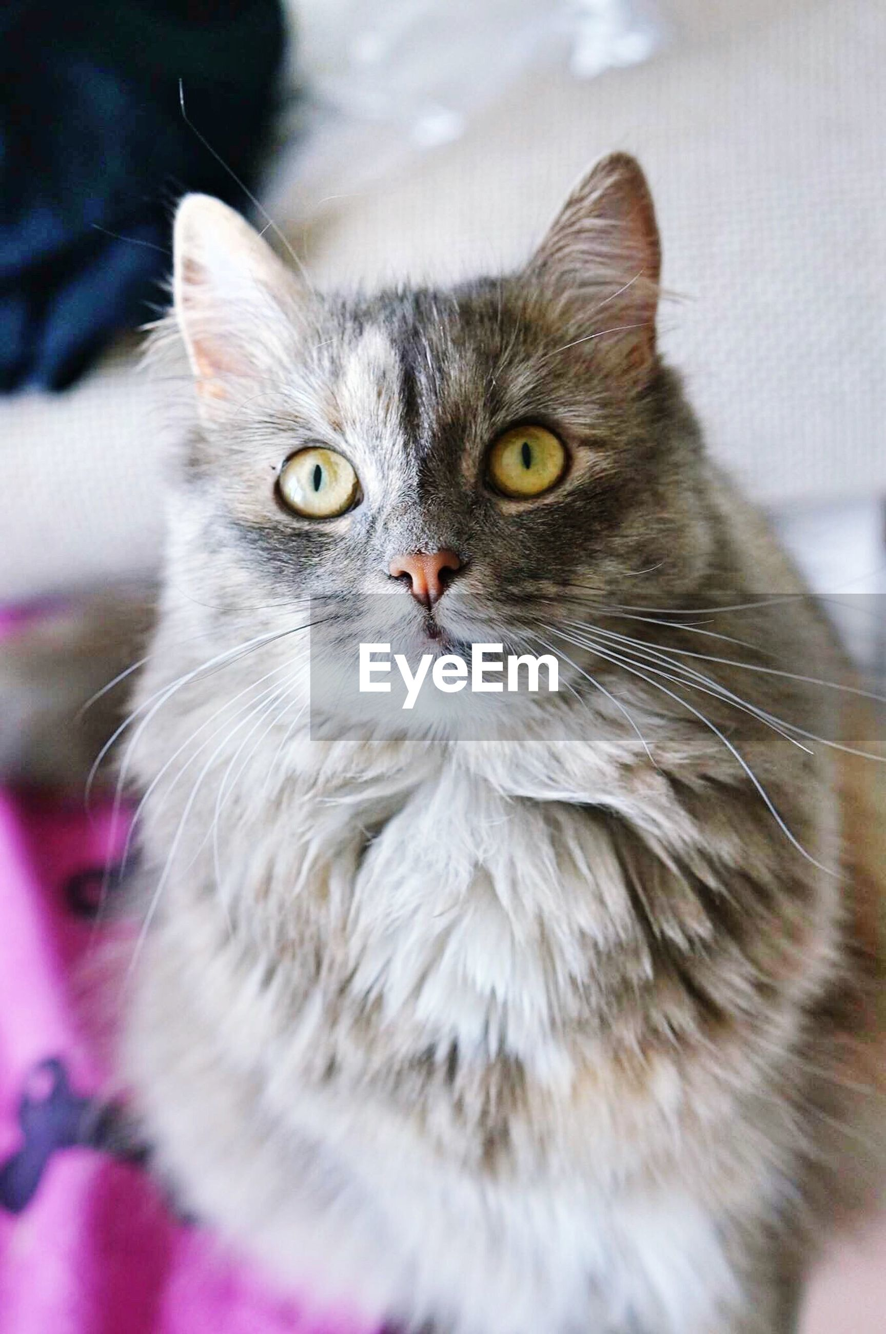 one animal, animal themes, domestic cat, pets, domestic animals, cat, whisker, feline, portrait, indoors, close-up, looking at camera, mammal, focus on foreground, animal head, animal eye, front view, animal body part, staring