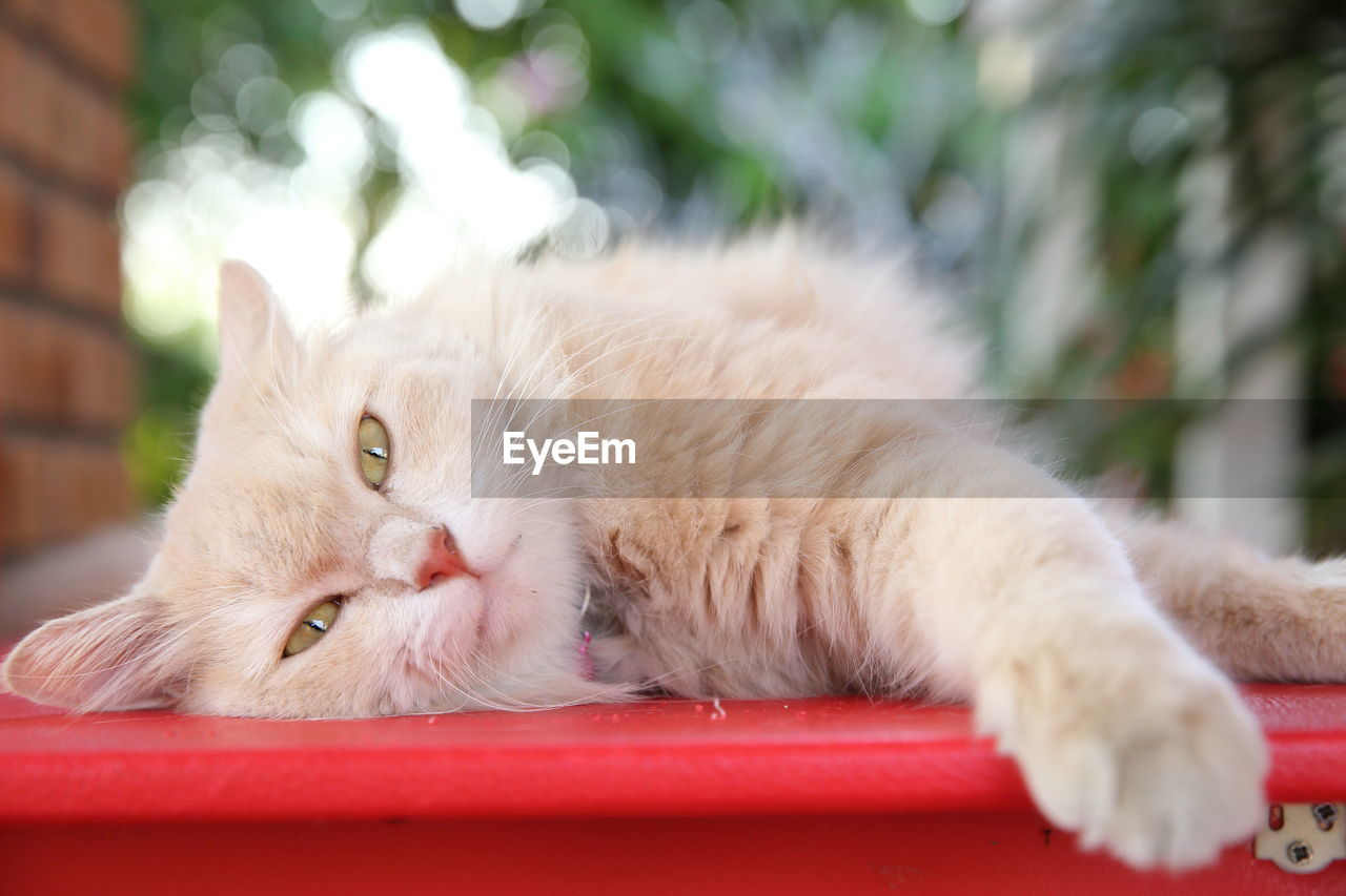 cat, domestic, feline, domestic cat, mammal, animal, animal themes, one animal, pets, domestic animals, vertebrate, relaxation, no people, focus on foreground, white color, lying down, close-up, whisker, resting, portrait