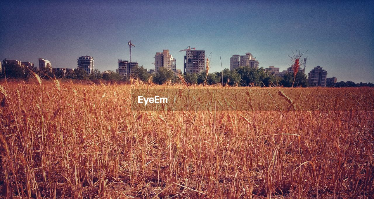 field, architecture, clear sky, building exterior, growth, outdoors, day, built structure, skyscraper, no people, nature, agriculture, sky, landscape, tranquility, cereal plant, city, wheat, grass, industry, tree