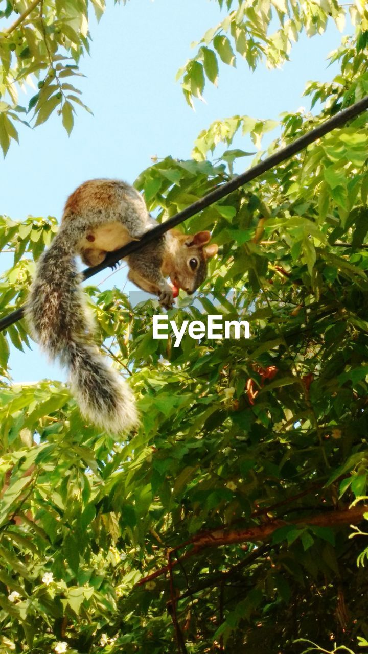 animal themes, animal, tree, one animal, vertebrate, plant, mammal, animal wildlife, nature, animals in the wild, low angle view, day, branch, focus on foreground, growth, food, no people, green color, sunlight, squirrel, outdoors