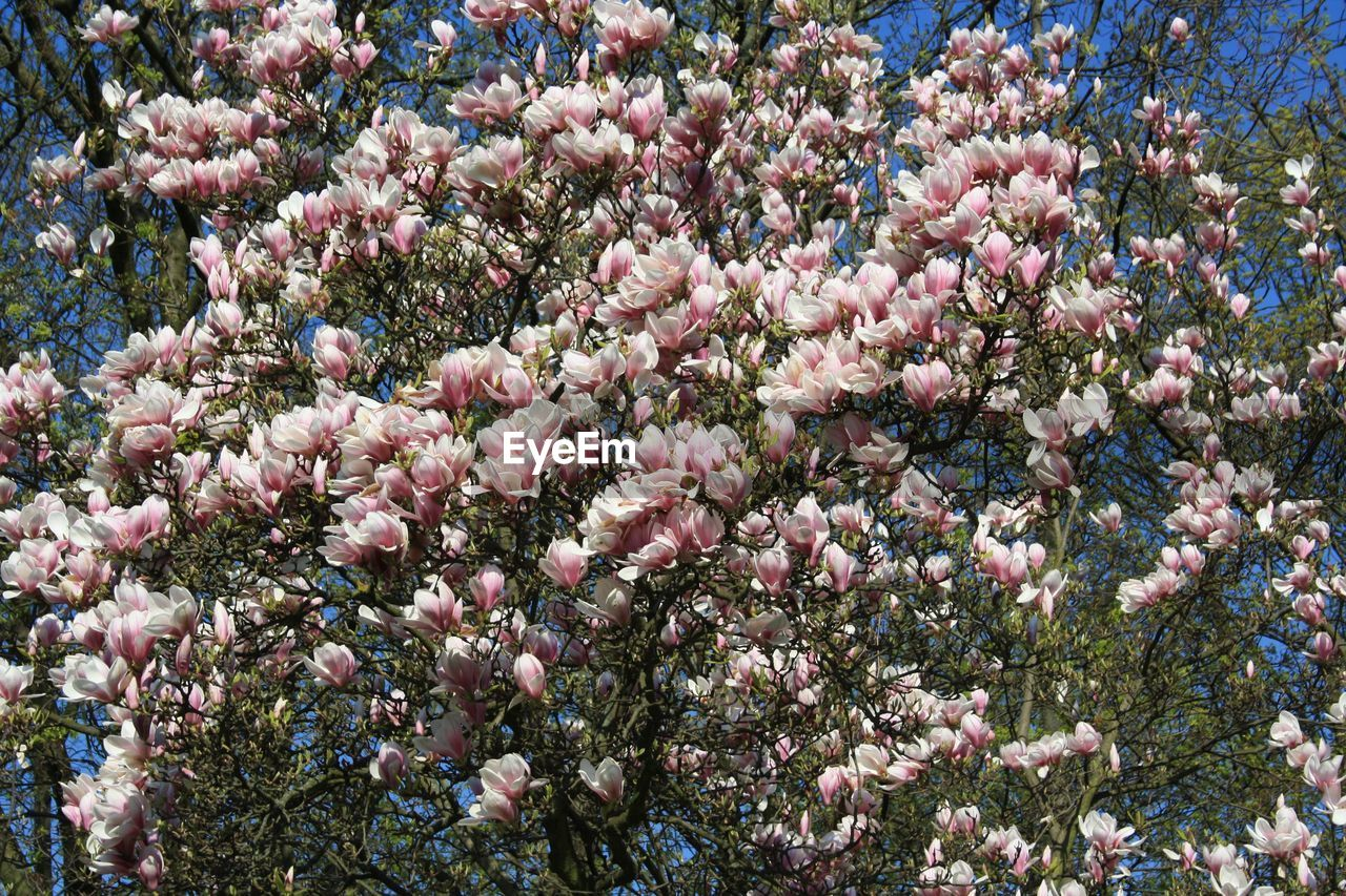 flower, flowering plant, plant, beauty in nature, fragility, vulnerability, freshness, growth, pink color, tree, nature, day, backgrounds, no people, springtime, blossom, abundance, full frame, branch, close-up, outdoors, flower head, spring, cherry blossom