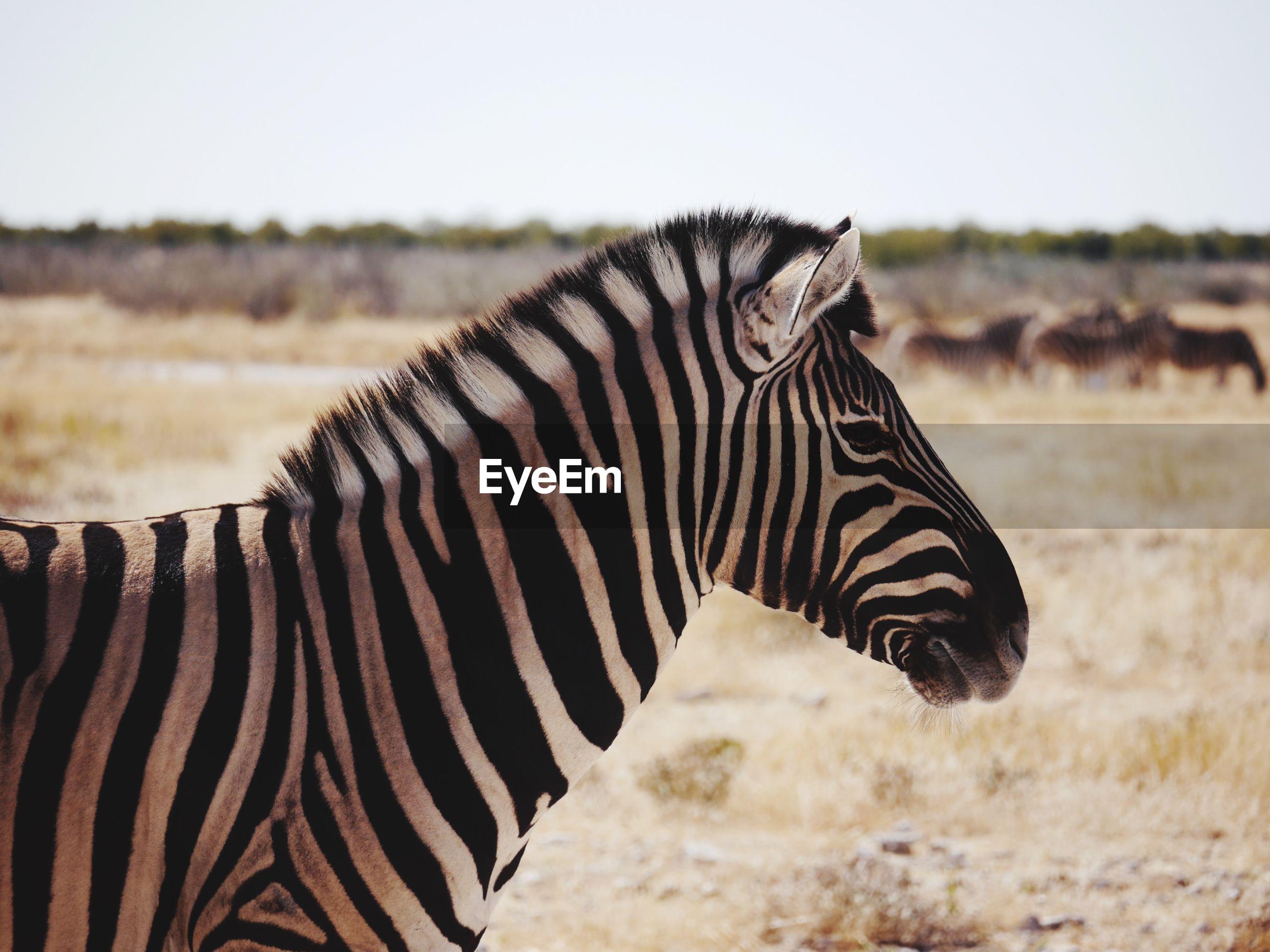 Side view of zebra on ground
