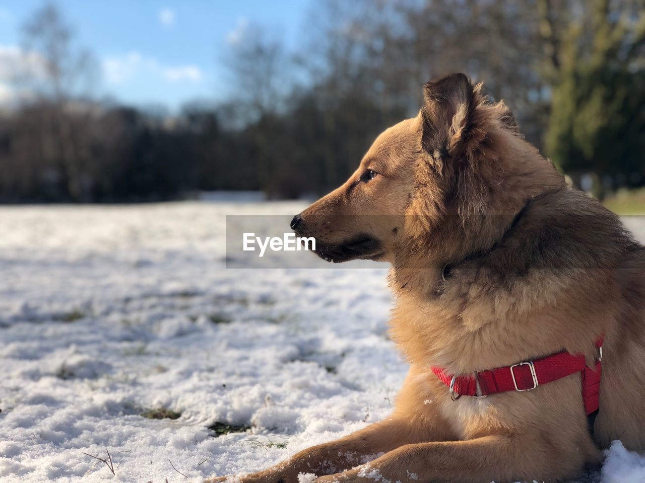 dog, canine, one animal, pets, domestic, domestic animals, animal themes, animal, mammal, looking, looking away, vertebrate, winter, land, cold temperature, snow, focus on foreground, day, nature, no people, outdoors, animal head, purebred dog, profile view