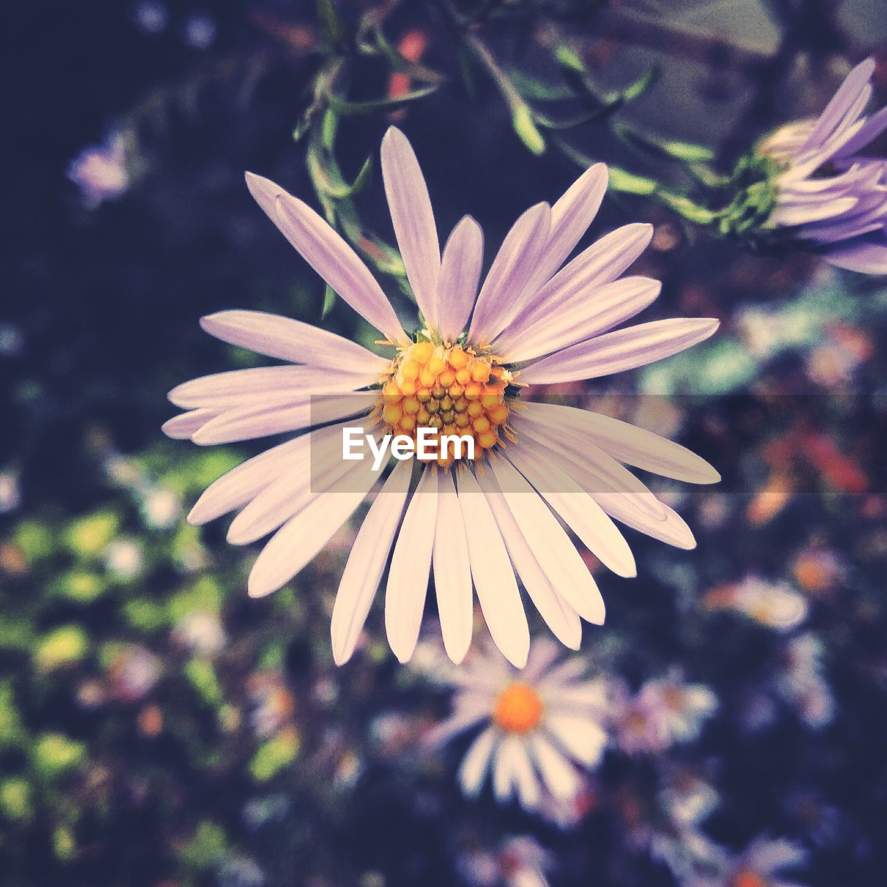 flower, petal, nature, fragility, flower head, beauty in nature, growth, freshness, plant, blooming, no people, day, focus on foreground, outdoors, close-up, osteospermum