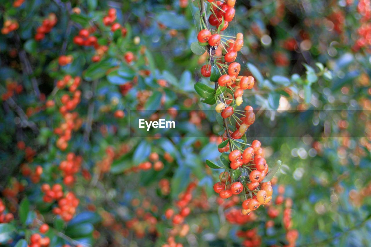 growth, plant, food, beauty in nature, fruit, close-up, nature, freshness, food and drink, day, berry fruit, tree, no people, selective focus, plant part, leaf, healthy eating, focus on foreground, green color, red, outdoors, rowanberry, ripe