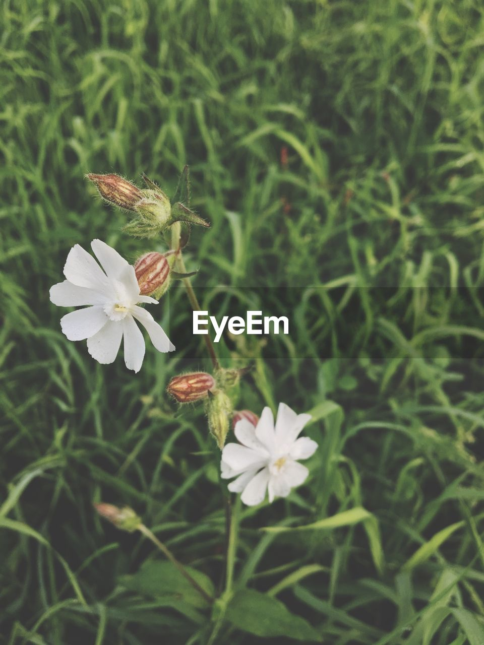 flower, growth, petal, flower head, nature, fragility, freshness, plant, beauty in nature, white color, day, outdoors, blooming, no people, close-up, grass