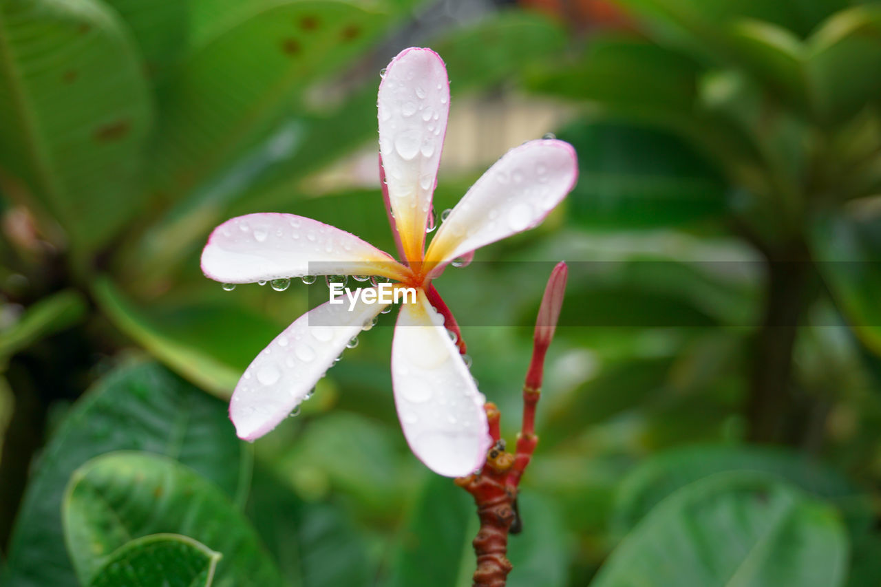 plant, growth, beauty in nature, flowering plant, close-up, flower, freshness, vulnerability, fragility, leaf, plant part, focus on foreground, day, green color, nature, petal, water, drop, no people, wet, flower head, outdoors, purity, leaves, dew