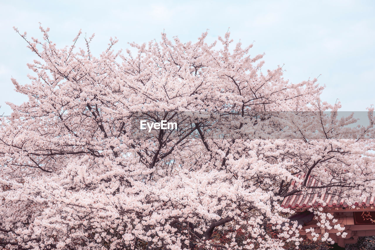 tree, flowering plant, flower, springtime, plant, pink color, blossom, branch, cherry blossom, nature, sky, freshness, fragility, beauty in nature, growth, low angle view, cherry tree, day, no people, built structure, outdoors