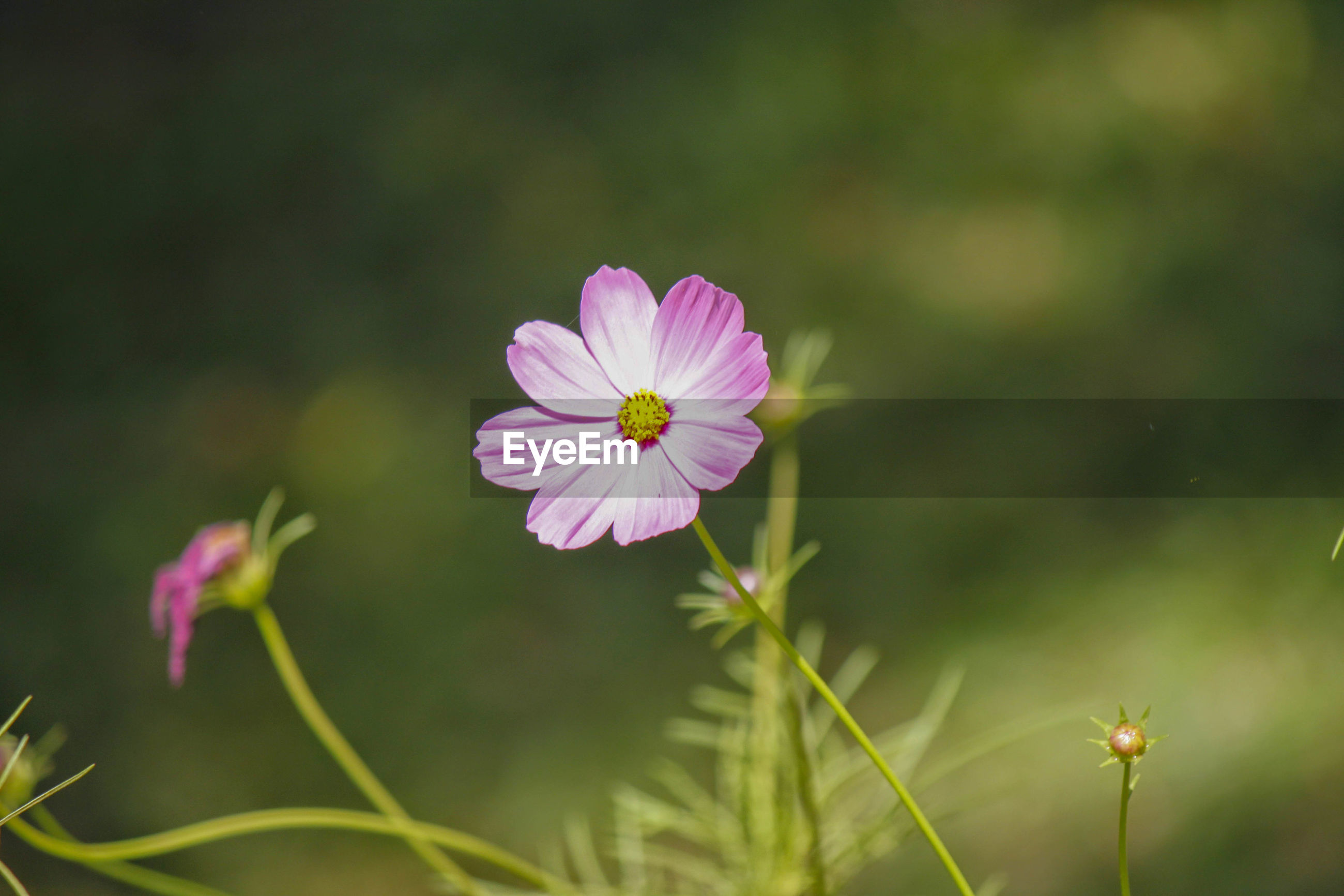 CLOSE-UP OF PINK COSMOS