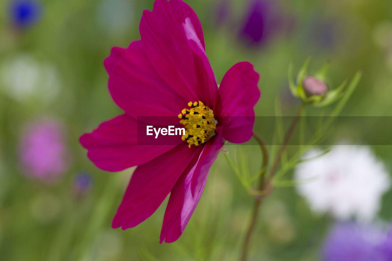 flower, flowering plant, fragility, vulnerability, beauty in nature, petal, plant, freshness, flower head, close-up, inflorescence, growth, focus on foreground, no people, pink color, day, pollen, nature, selective focus, outdoors, purple