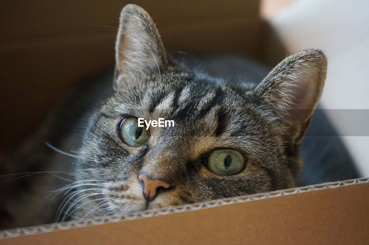 cat, domestic cat, pets, animal themes, feline, one animal, domestic, domestic animals, animal, mammal, vertebrate, box, close-up, no people, cardboard, cardboard box, focus on foreground, whisker, indoors, box - container, animal head, animal eye, tabby