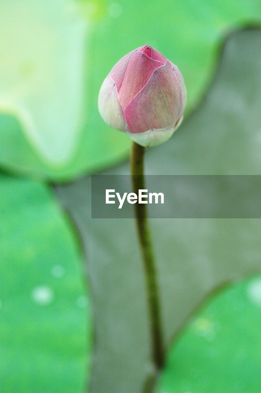 Close-up of pink water lily bud in pond
