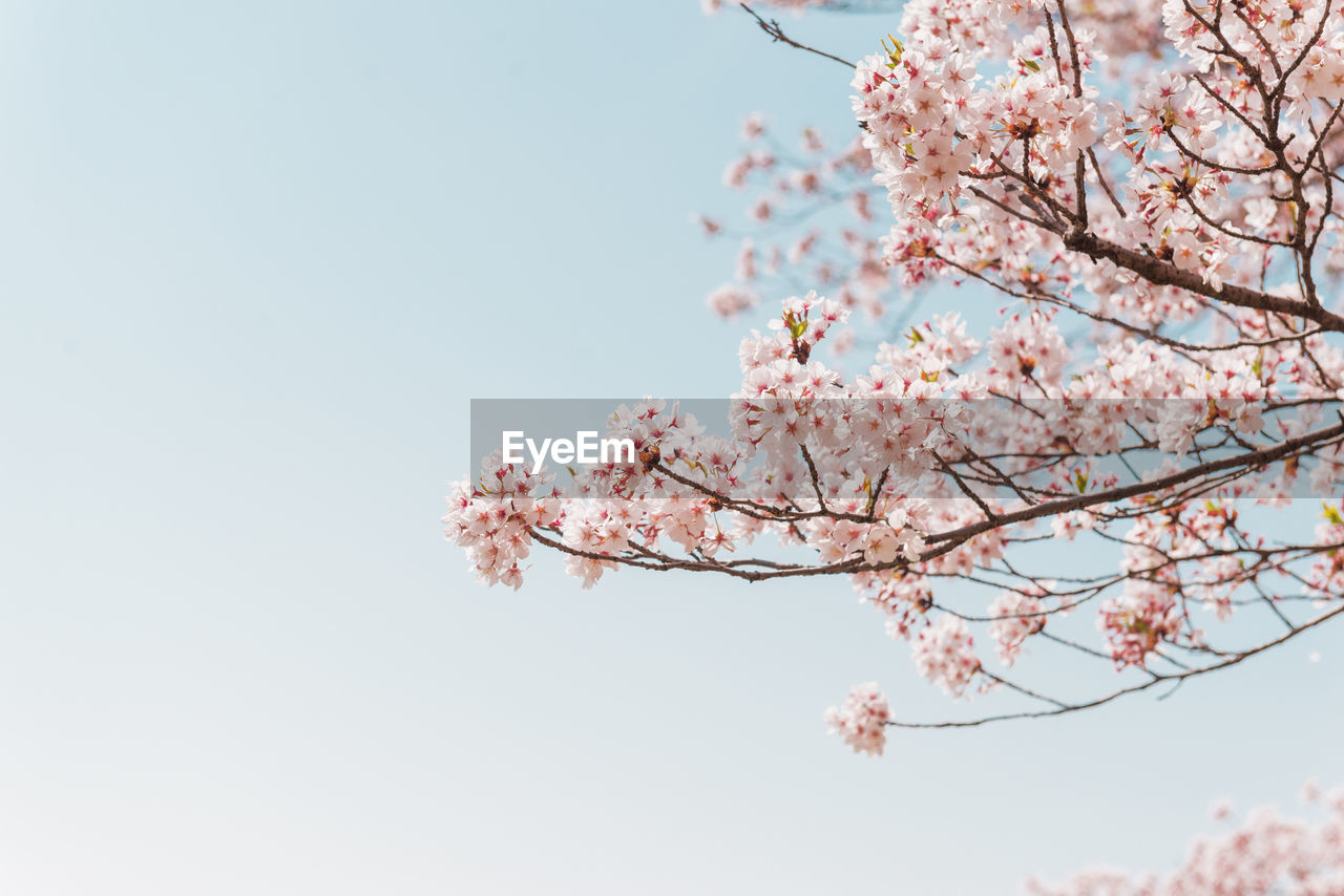 tree, flowering plant, flower, plant, growth, fragility, blossom, branch, beauty in nature, freshness, low angle view, sky, vulnerability, springtime, pink color, nature, cherry blossom, clear sky, day, cherry tree, no people, outdoors, flower head, plum blossom, bunch of flowers, spring