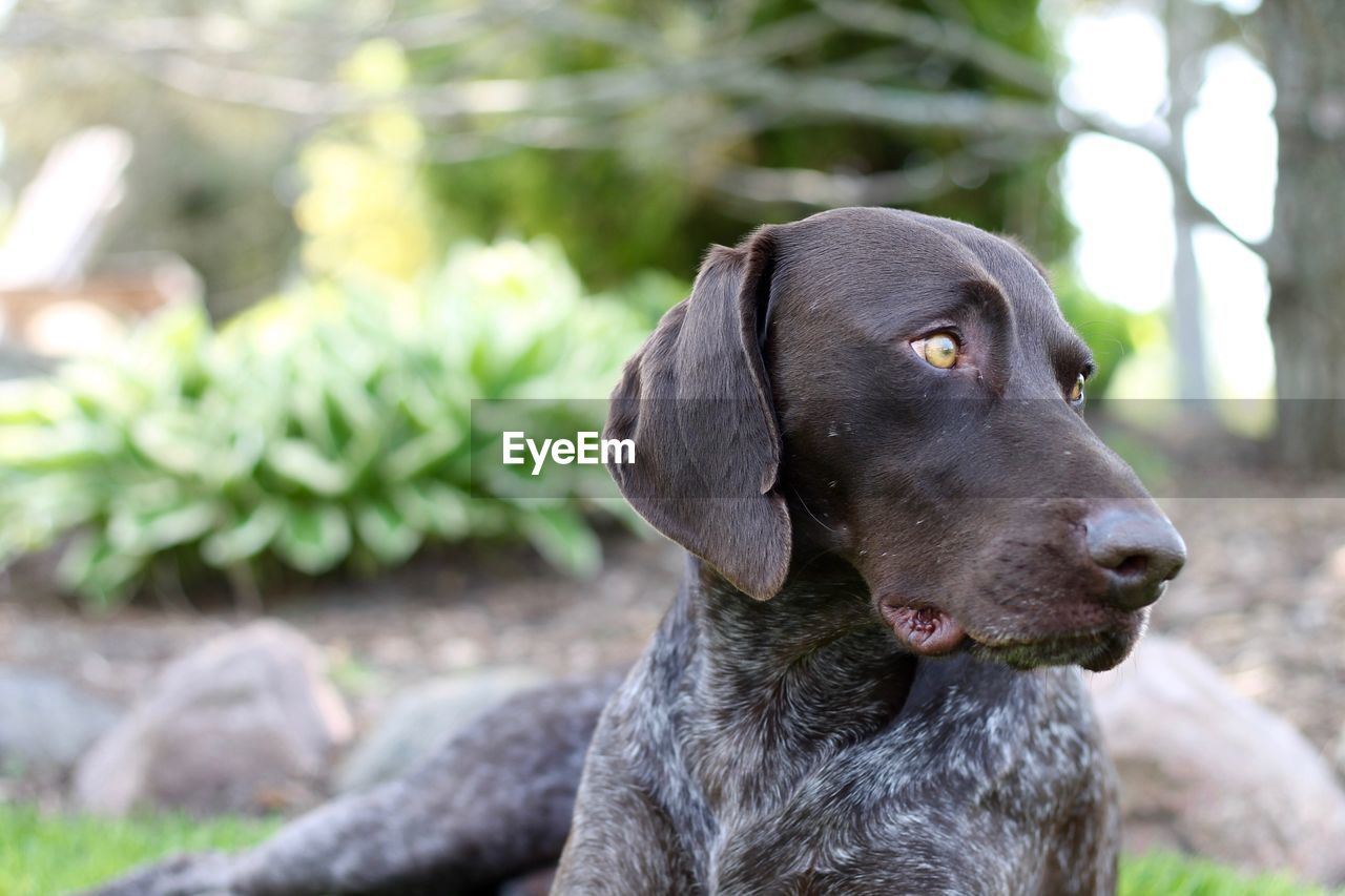 Close-up of german short-haired pointer sitting on field