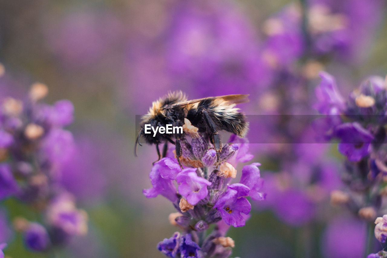 flower, flowering plant, invertebrate, insect, animal themes, one animal, fragility, vulnerability, plant, freshness, animal, beauty in nature, purple, animal wildlife, animals in the wild, growth, close-up, bee, flower head, pollination, no people, bumblebee, lavender
