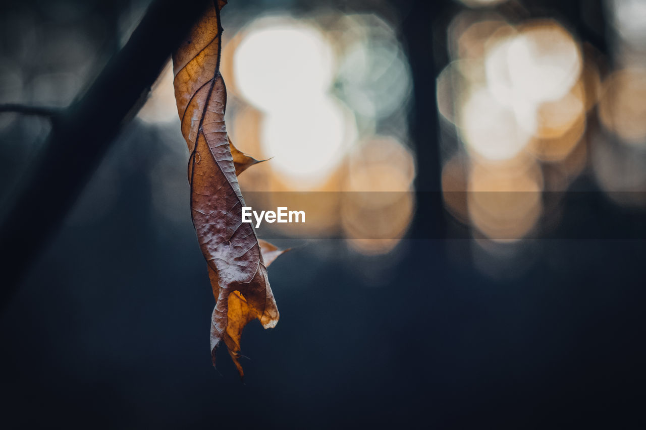 close-up, focus on foreground, no people, nature, leaf, hanging, plant part, one animal, animal, day, selective focus, animal themes, outdoors, lens flare, dry, animal wildlife, orange color, sunlight, mid-air, vertebrate