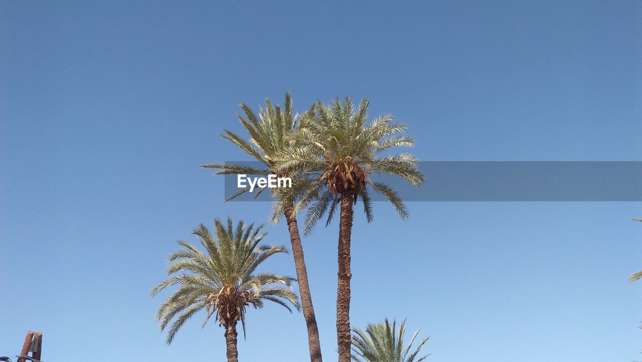 sky, palm tree, plant, tropical climate, clear sky, tree, growth, low angle view, copy space, blue, day, nature, no people, beauty in nature, date palm tree, tranquility, sunlight, trunk, tree trunk, outdoors, tropical tree, coconut palm tree, palm leaf