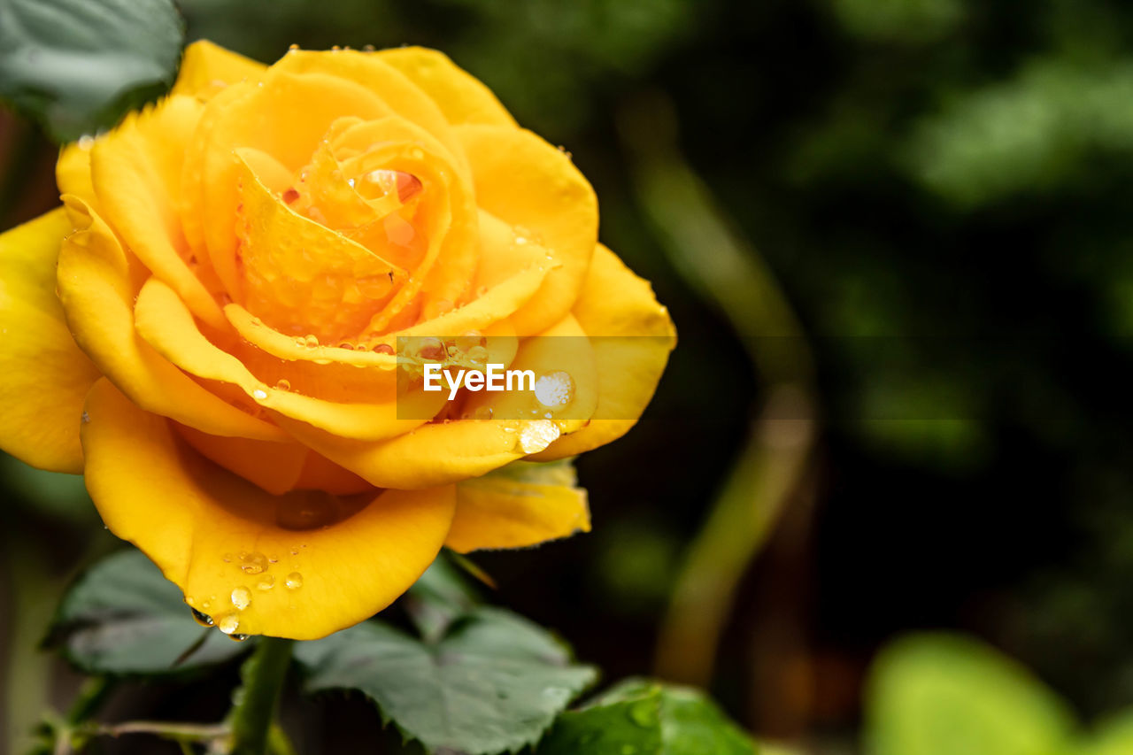 beauty in nature, flowering plant, flower, vulnerability, fragility, plant, petal, freshness, flower head, close-up, yellow, inflorescence, growth, nature, rose, focus on foreground, rose - flower, no people, water, outdoors, purity, dew